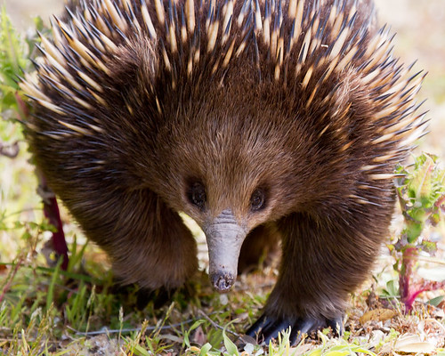 Echidna Prowl | by will_hl