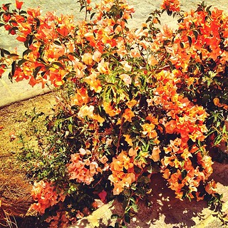 bougainvillea everywhere | by sarahwulfeck