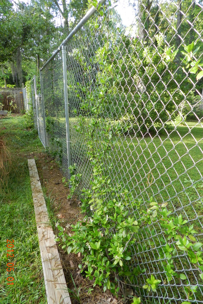 How Star Jasmine Will Cover The Chain Link Fence How