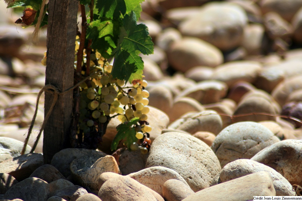 Vignes sortant des pierres