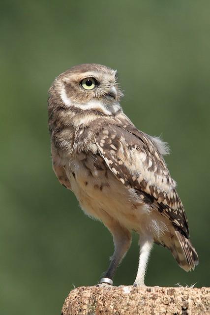 Burrowing Owl (Captive)