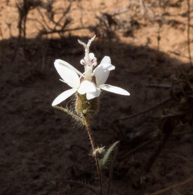 Asteraceae, Osmadenia tenella, Three Spot/ Osmadenia