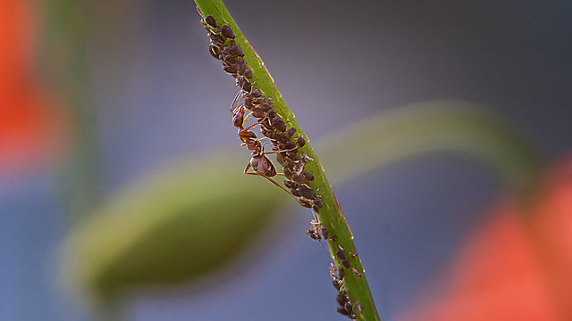 Milking aphids...