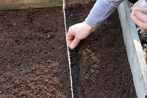 sowing carrot seed sowing carrot seed into a drill in. Black Bedroom Furniture Sets. Home Design Ideas