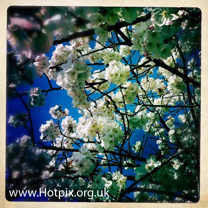 tonysmith,spring,blossom,gotonysmith,Grappenhall,Warrington,springwatch,watch,white,tree,flowers,nature,natural,shrub,plant,square,hipstamatic,Cheshire,England,UK,bloom,bloomen,flores,fleur