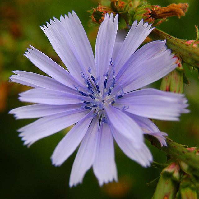 Shanghai - Chicory Flower