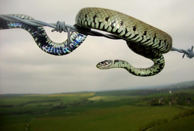 Snake over Sussex 2