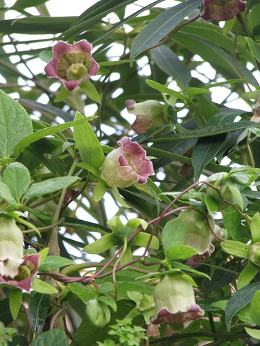 Codonopsis lanceolata in Schefflera taiwaniana   by peganum