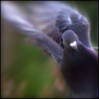 Beryl - The Feral Pigeon | by StevoKebabo