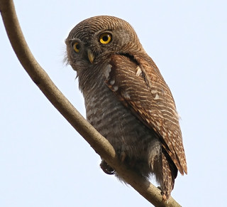 N. India Tour 2012: Jungle Owlet | by spiderhunters