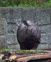 Rhinoceros / Panzernashorn