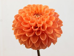 Dahlia - Bristol Tangerine