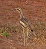 Bush Stone Curlew (aka Bush Thick Knee) (Burhinus grallarius) (55 centimetres).01 by Geoff Whalan