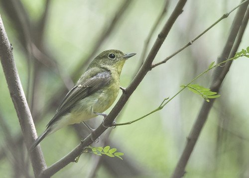 Green-backed Flycatcher   by See Toh Yew Wai