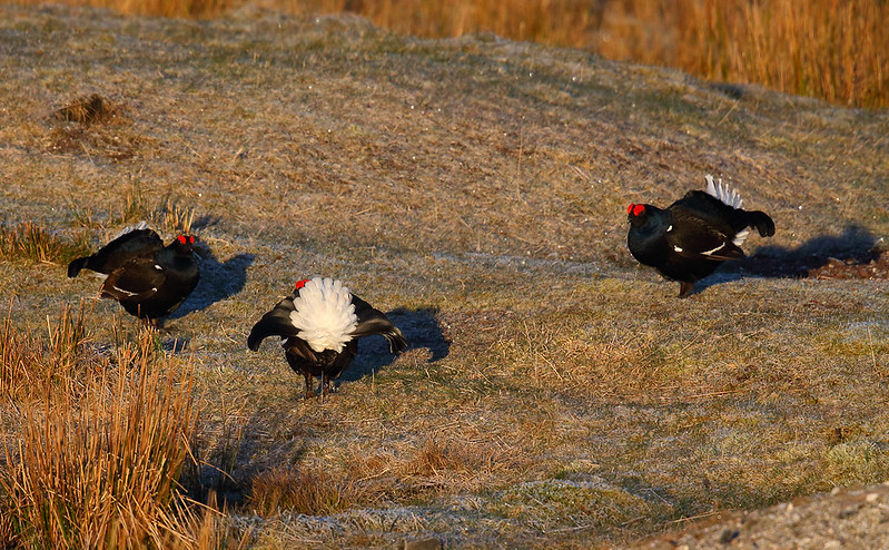 Black Grouse - stand off