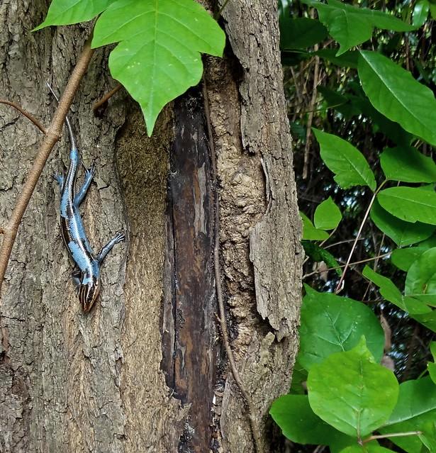 Plestiodon Fasciatus aka American Five-Lined Skink aka Blue-Tailed Skink