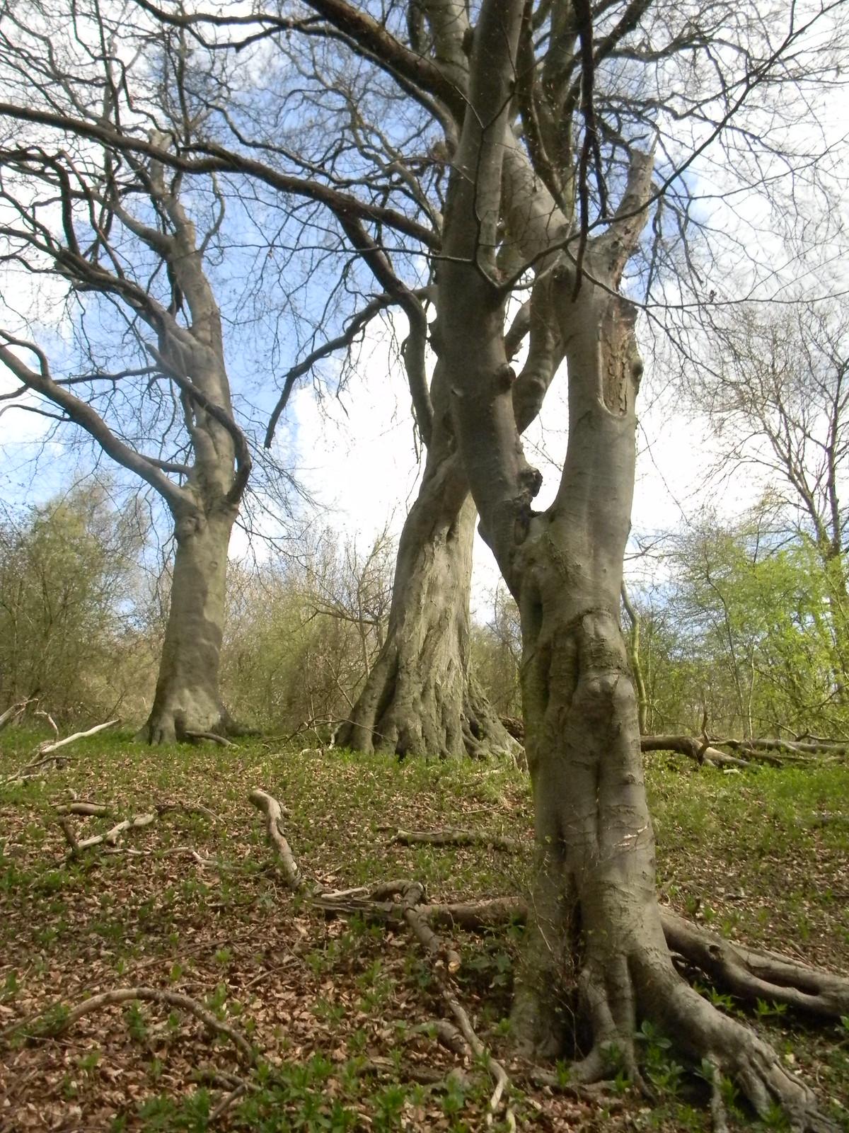 Trees on the Ridgeway Tring to Berkhamsted