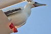 016008-IMG_5189 Red-footed Booby (Sula sula) by ajmatthehiddenhouse