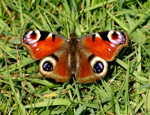 035Papillon.......... | by mcknight424
