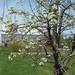 Bartlett pear bloom