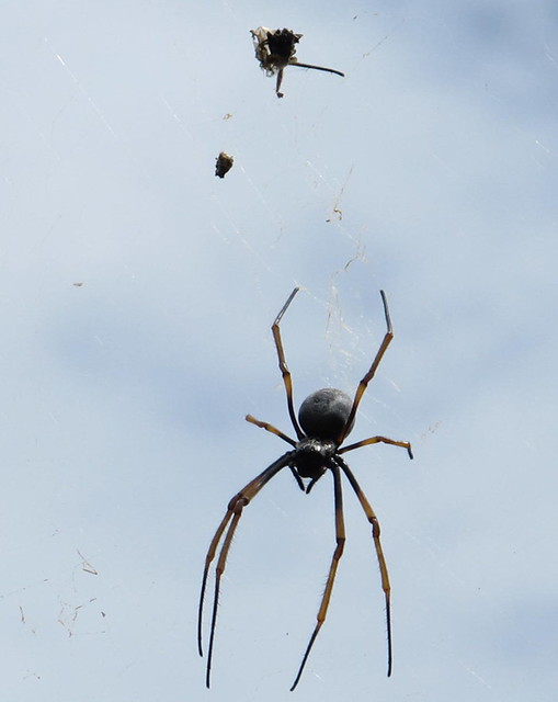 Golden Orb weaver and her breakfast on Lord Howe Is.