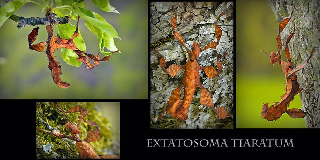 **Extatosoma tiaratum**