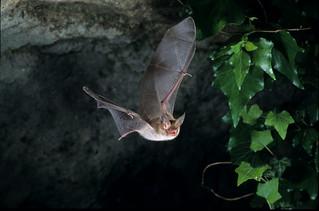 Chauve Souris Murin De Bechstein Myotis Bechsteinii Flickr