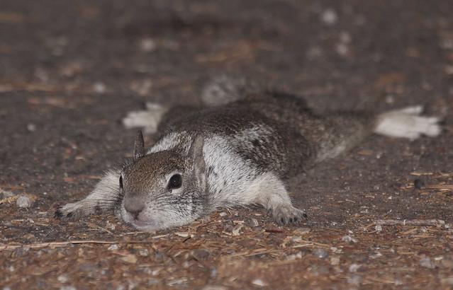 California Ground Squirrel Otospermophilus beecheyi Too Hot in Shade
