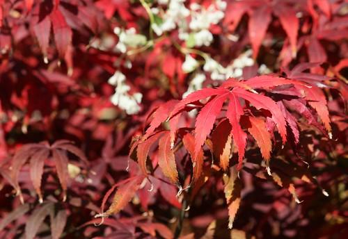 Fächerahorn (Acer palmatum) | by blumenbiene