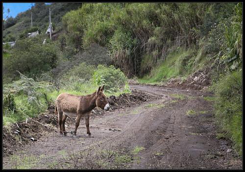 travel vacation mountain holiday mountains animal animals volcano ecuador destruction donkey sierra burro andes volcanic banos volcán tungurahua andesmountains