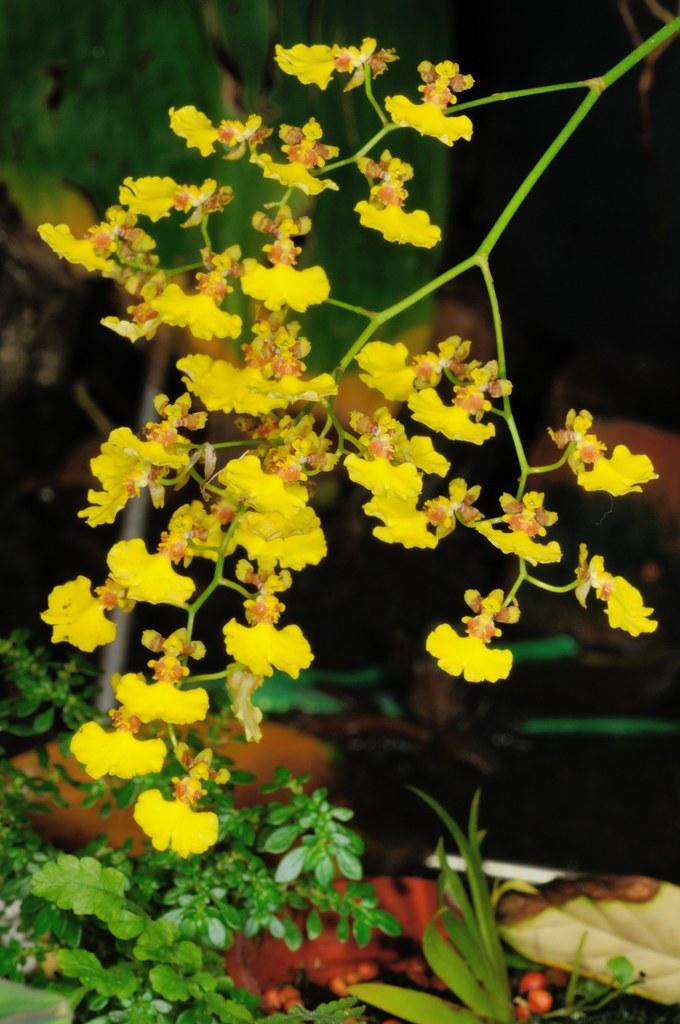 小金魚文心蘭的花朵