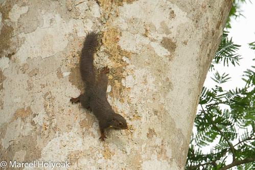 squirrels mammals cameroon sciuridae littoral furnisciurusisabella ladyburtonsropesquirrel