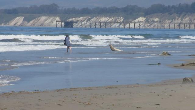 MVI_7174 california sea lion photographer harassment 19s east haskell beach