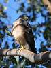 Collared Sparrowhawk (Accipiter cirrocephalus) by David Cook Wildlife Photography