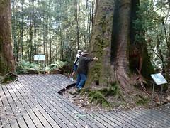 do, 26/01/2012 - 23:24 - 084. Pieter en Paul meten de dikte van de Eucalyptus Regnans