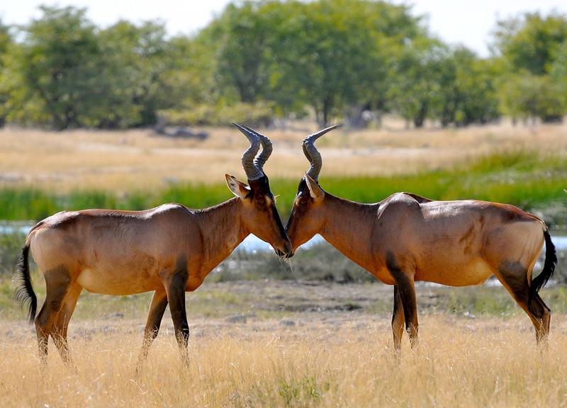 Hartebeest (Kuhantilope) in Namibia
