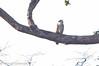 imm. Barred Honey-buzzard (Pernis celebensis), PICOP near Bislig, Mindanao, PH, 2012-06-08- (103 of 8).jpg by maholyoak