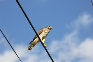RED-SHOULDERED HAWK #3 | by cuatrok77