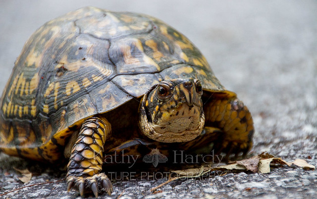 Box Turtle!