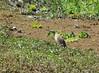 Malagasy pond-heron, Ardeola idea. South Luangwa, Zambia   DSC_5038 by Jaime Chang
