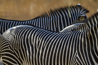 LA Zoo zebras | by pamlane