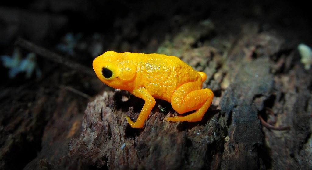 Anura: Brachycephalidae