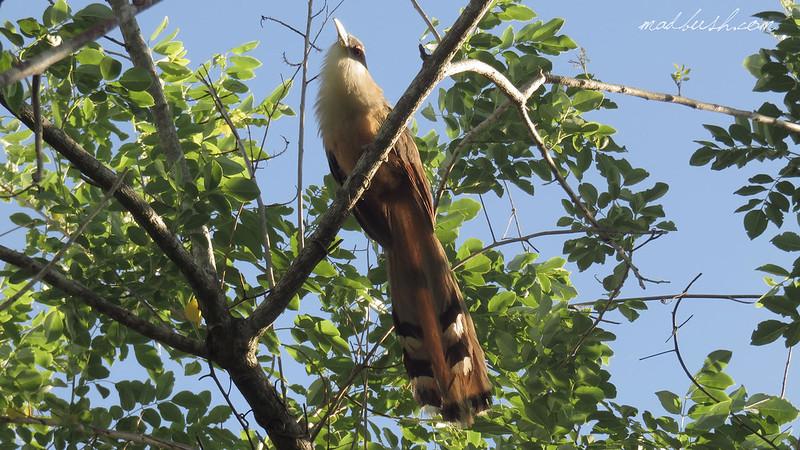 Lizard Cockoo (Coccyzus merlini) in Vinales