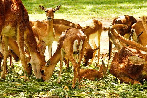 Deers, Bannerghatta National Park, Bangalore, India!!! | by Natesh Ramasamy