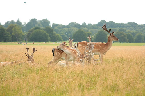 Deer in Richmond Park | by SLR Jester