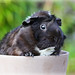 <p>This is Little Month, one of my girlfriend`s Abyssinian guinea pigs.<br /> <br /> She`s always filthy!</p>