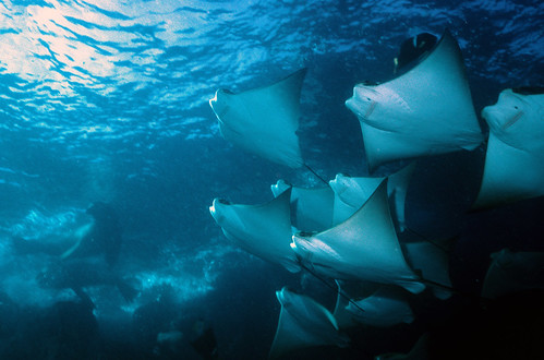 Javanese Cownose ray