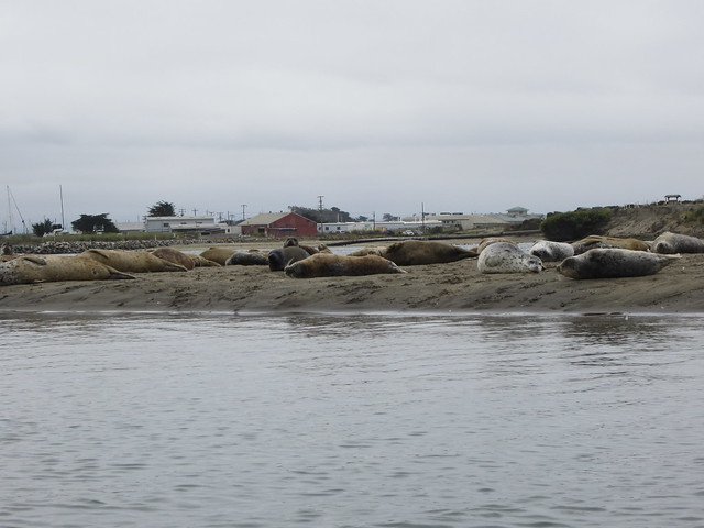 Harbor Seals on Elkhorn Slough