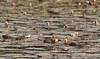 Afrikansk Dværgand (Nettapus auritus) - African Pygmy Goose - Afrikazwergente - Gansito Africano by Søren Vinding