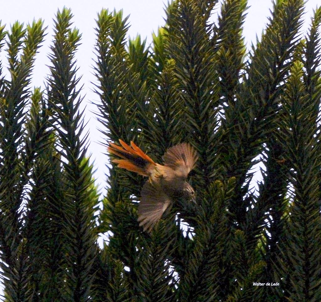 Araucaria Tit-Spinetail (Leptasthenura setaria) Coludito de los pinos - Grimpeiro